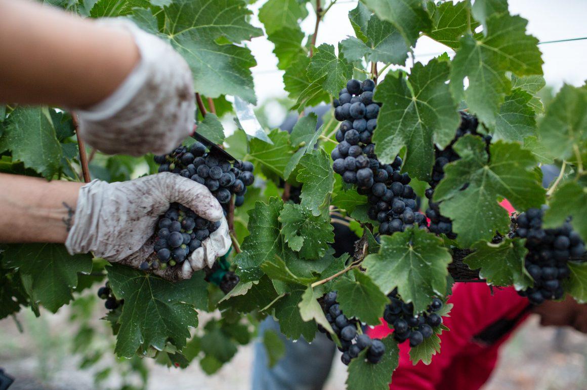 Harvest is Underway in Niagara